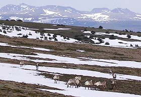 Herd of caribou on a snow covered slope.
